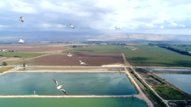 Aerial photography - pelicans over the Hula Valley