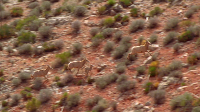 Aerial point of view tracking shot desert bighorn sheep family running uphill, pausing and looking at cam / Grand Canyon