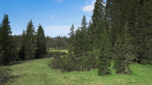 Aerial shot of a clearing in the middle of a spruce tree forest