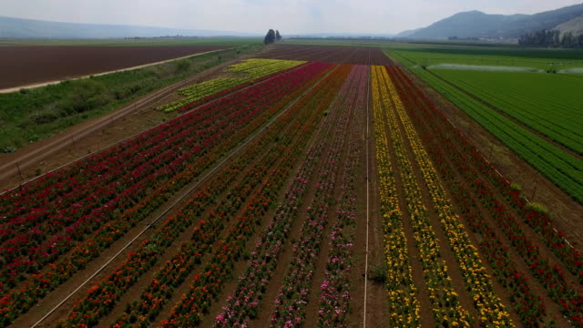 Aerial shot of Anemone flower Field in the Hula valley