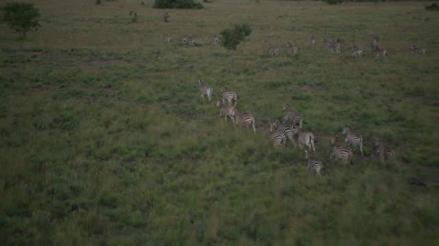 Aerial shot of herd of zebra running
