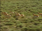 Aerial slow motion shot of herd of pronghorn (Antilocapra americana) running through sagebrush / Wyoming