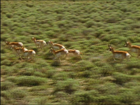 Aerial slow motion shot of herd of pronghorn (Antilocapra americana) running through sagebrush / Wyoming