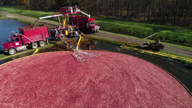 Aerial tilt up and down of cranberry bog during harvest as truck gathers cranberries at Cutler Cranberry in Camp Douglas Wisconsin on Wednesday Oct...