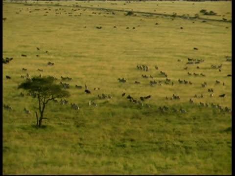Aerial track left, herds of Zebra and Wildebeest running in Savanna, Serengeti, Tanzania