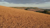 4K Aerial track over corn field to reveal South Downs beyond