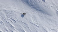 Aerial track over grey wolf (Canis lupus) crossing snowy ground, Yellowstone, USA