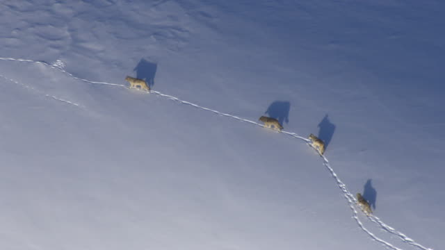 Aerial track over grey wolves (Canis lupus) crossing snowy hillside, Yellowstone, USA
