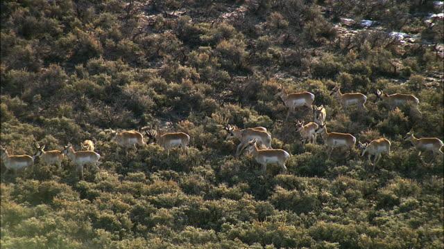 Aerial track over pronghorn (Antilocapra americana) herd, Yellowstone, USA