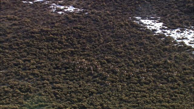 Aerial track over running pronghorn (Antilocapra americana) herd, Yellowstone, USA
