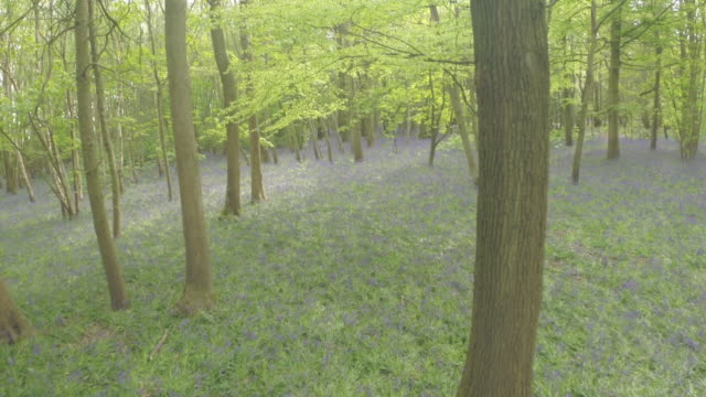 Aerial track through bluebell woods