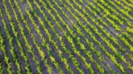 Aerial video over green vineyards - Cape Town