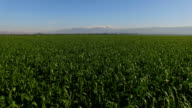 Aerial view- flight above green wheat fields in the Hula Valley with Hermon Mountain in background