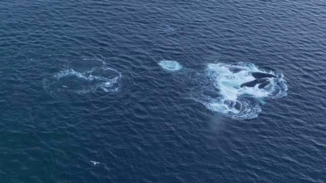 Aerial view of a pod of humpback whales breach feeding in Norway
