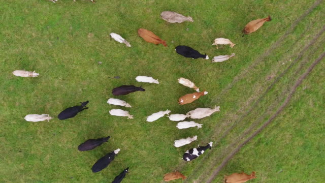 Aerial view of cows directly below