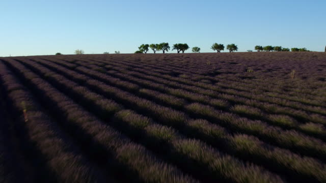 Aerial view of famous Lavender field in South France