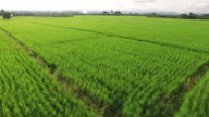 Aerial view of green rice paddy fields