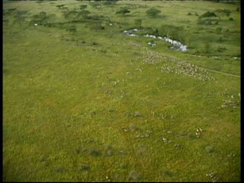Aerial view of herds of Zebra and Wildebeest running in Savanna, Serengeti, Tanzania