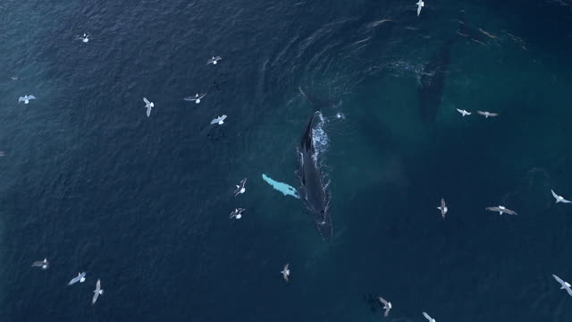 Aerial view of humpback whales and Orca swimming in a large shoal of herring in Norway