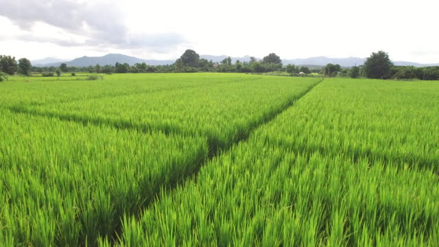 Aerial view of rice paddy fields