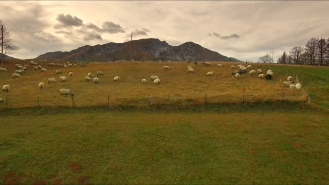 Luchtfoto van schapen in het veld 4K
