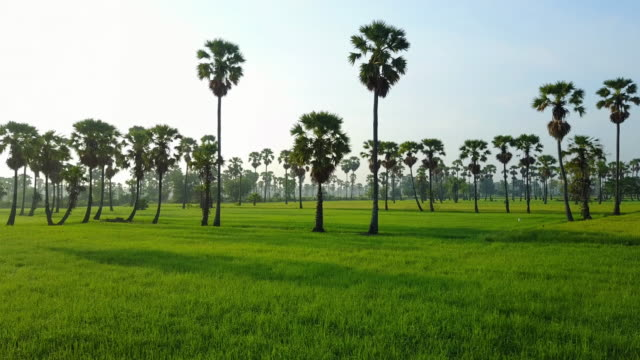 Aerial view palm tree and field paddy at Phetchaburi Province Thailand