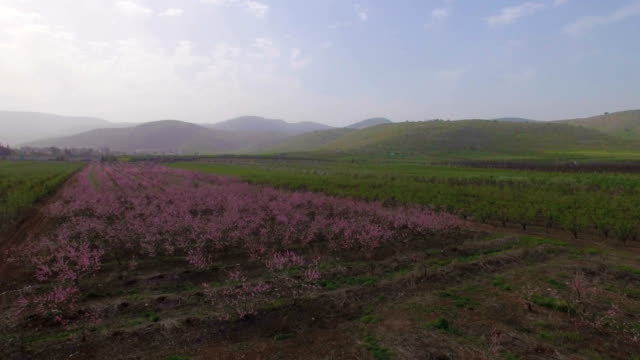 Aerial view- pink flower Bloom of peaches orchard in early spring