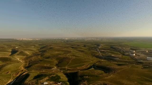 Aerial view - Thousands of Common Starlings (Sturnus vulgaris) fly towards camera / Duda'im rubbish dump, southern Israel