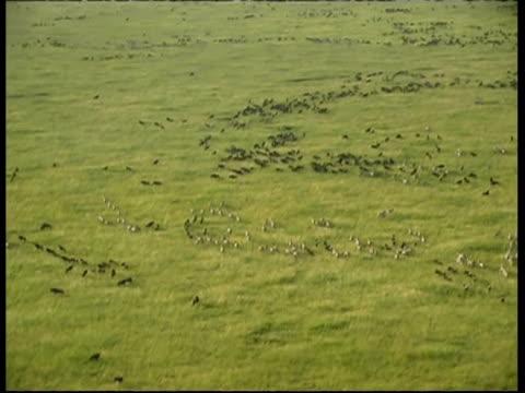 Aerial WA herd of Zebras and Wildebeest, running in lines across Savannah grass, Serengeti, Tanzania