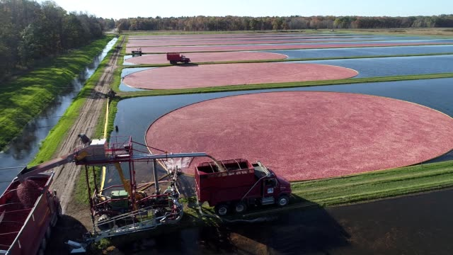 Aerial wide shot around cranberry bog during harvest as truck gathers cranberries at Cutler Cranberry in Camp Douglas Wisconsin on Wednesday Oct 18...