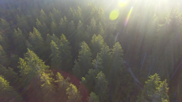 AERIAL:Sunbeam Over the pine forest