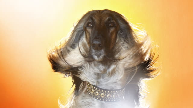 Afghan Hound Hair blowing in the wind
