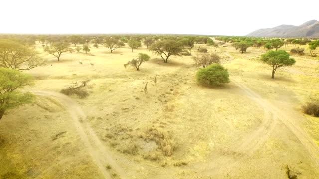 Africa Giraffe running