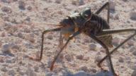 Afrikanischer Käfer-kaefer_grille