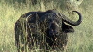 MS African Buffalo looking at camera, Serengeti, Tanzania