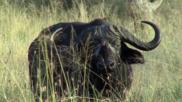 MS African Buffalo looking at camera, Serengeti, Tanzania