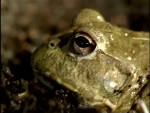 BCU African Bull Frog (Pyxicephalus adspersus) eats skin shed after estivation, Africa