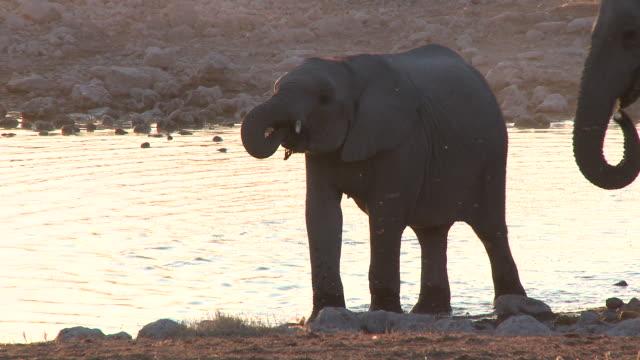 African Bush Elephant (Loxodonta africana) calf drinking at waterhole, evening light, Etosha National Park, Namibia