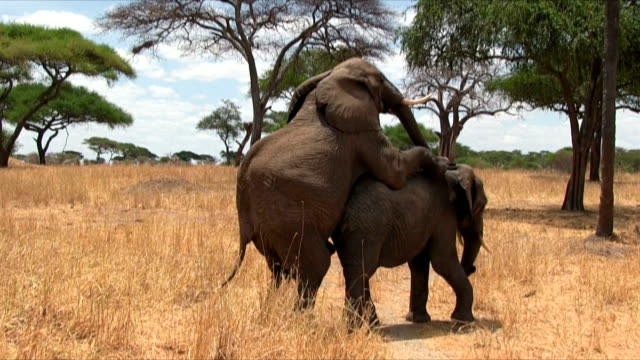 Elefante africano bush copulating nel Serengeti N.P. Tanzania