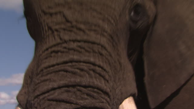 African Bush Elephant (Loxodonta africana) head close up, Kenya
