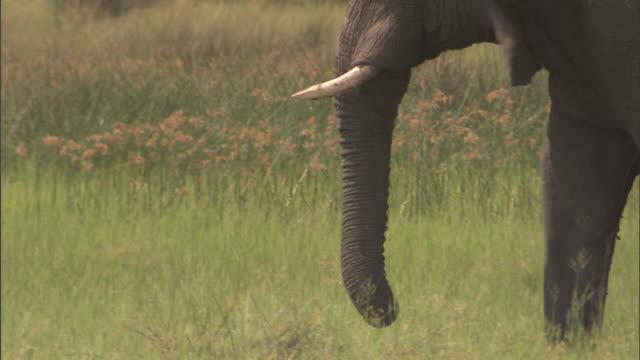 African Bush Elephant walking across frame on large grass field plain of the Okavango Delta tail whipping back forth Wildlife tusk