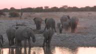 African Bush Elephants (Loxodonta africana) drinking at waterhole, evening light, Etosha National Park, Namibia