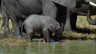 MS TU African Bush Elephants (Loxodonta africana) with calf at waterhole / Africa