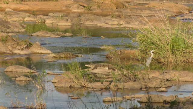 African Crocodiles Basking with Gray Heron Wide Shot