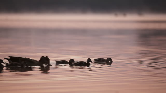 MS African ducks with ducklings on lake at dawn before sunrise / Pilansberg, North west, South Africa