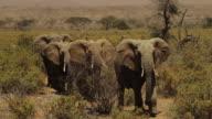 African Elephant- 4 big Elephants walking towards camera, in low bushes savannah