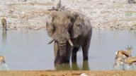 WS African Elephant and Springbok in savannah / Etosha National Park, Namibia