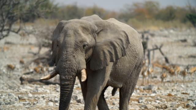 WS PAN African Elephant and Springboks in savannah / Namibia