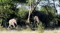 African Elephant Breaking a Tree
