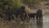 African elephant calves follow their mothers as they wade into water. Available in HD.